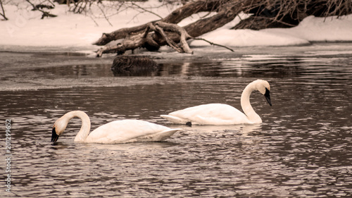 Staande foto Zwaan Swans are swimming at icy lake in early spring of Minnesota