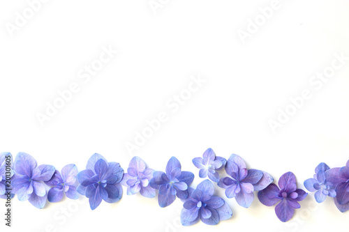 Hydrangea flower on a white background