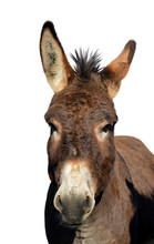 Portrait Of A Donkey Isolated ...