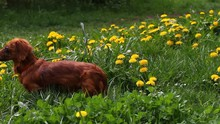 Blossoming Dandelion (Taraxacum) Field With Wild Birds Songs And Beauty Longhair Dachshund. Yellow Dandelions On Green Meadow In Springtime. Beautiful Yellow Dandelion Blossoms. Floral Pattern.  Bird