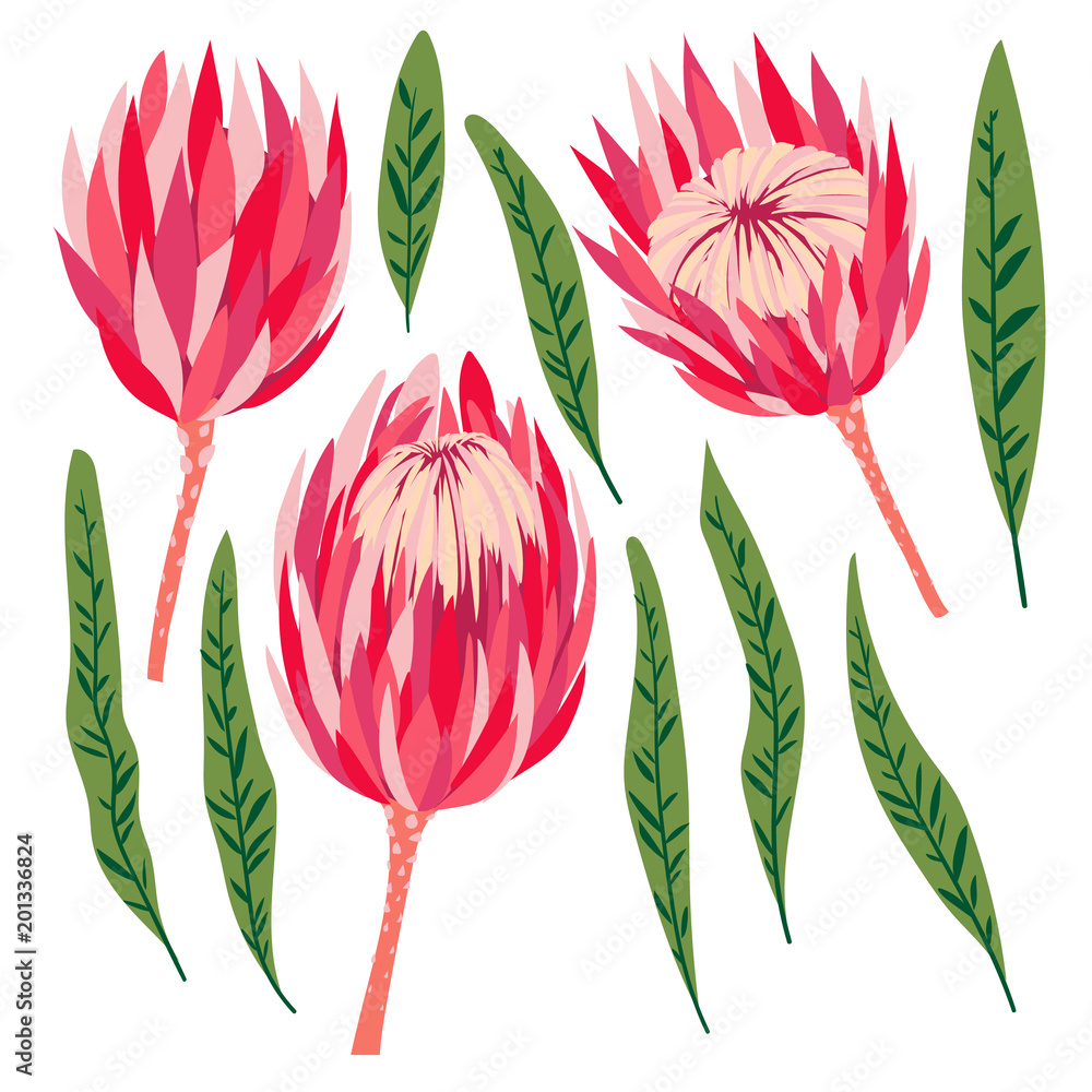 Fototapeta Set of protea flowers. Vector digital modern art. Bright pink, red, rose ang green colors. Bloosoms and leaves. Tropical plant. Good for clothing print, flyer, banner, poster, wedding, decor, design.