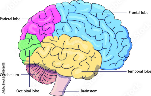 Schematic vector diagram of a brain with labeled parts ...