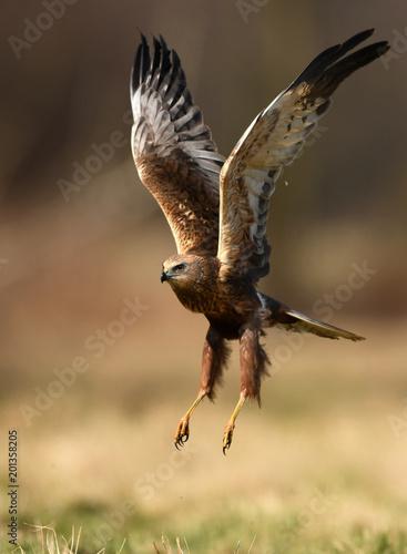 Marsh harrier (Circus aeruginosus) Fototapete
