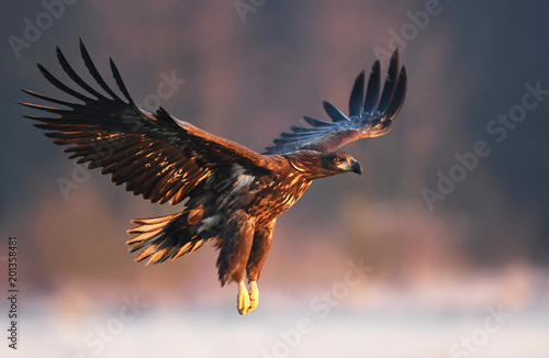 Garden Poster Eagle White tailed eagle (Haliaeetus albicilla)