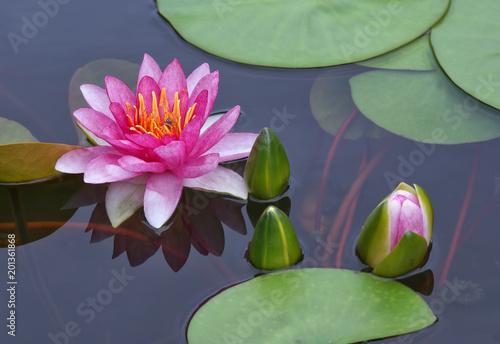 Cuadros en Lienzo water, flower, lily, lotus, pond, pink, nature, green, plant, waterlily, bloom,