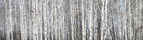 Beautiful white birches in birch grove