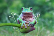 Eared tree frog sitting on a flower bud