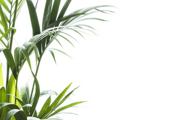 Yallow palm (Chrysalidocarpus lutescens.) leaves on white background with space for text
