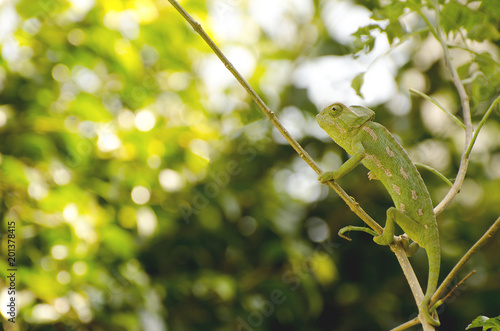Photo green chameleon looks sideways and  he hides himself camouflaged in the thick v