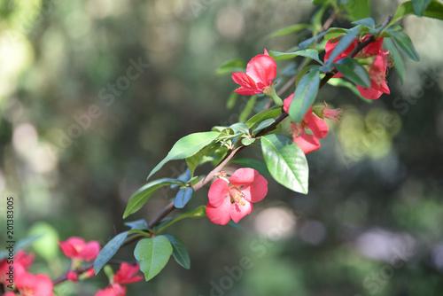 Foto Cognassier du Japon à fleurs roses au printemps au jardin