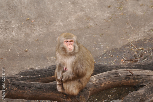 Foto op Canvas Aap Monkey in the Moscow zoo sits and looks around