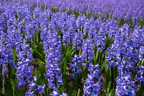 Foto op Aluminium Snoeien Dutch flower fields