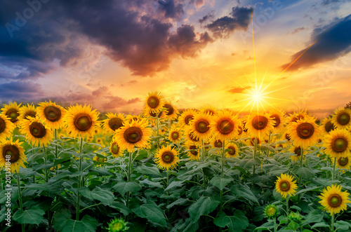 Autocollant pour porte Tournesol Sunflowers full bloom and light in the morning.