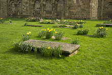 Graveyard With Daffodils In Du...