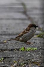Sparrow Bird On A Pavement