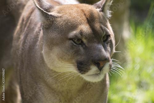 Keuken foto achterwand Puma Puma, Coguaro, Animale