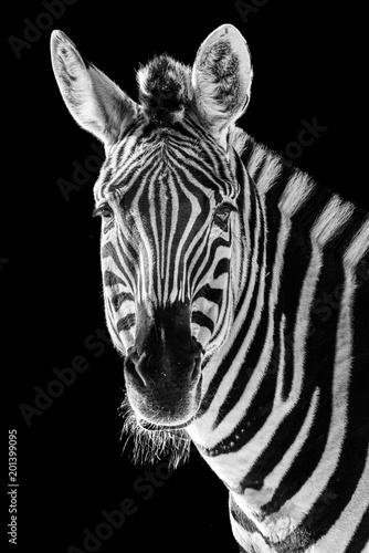 Poster Zebra Zebra Closeup II