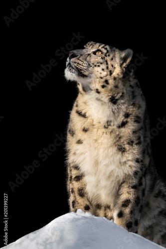 Plakat Sunbathing Snow Leopard V