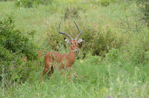 Fotobehang Ree impala tanzanie