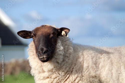 Carta da parati Irish sheep portrait