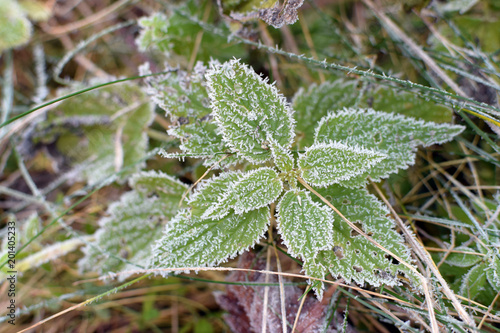 Ice crystals on frosted stinging nettle, Urtica dioica, winter season, cold outs Fototapeta