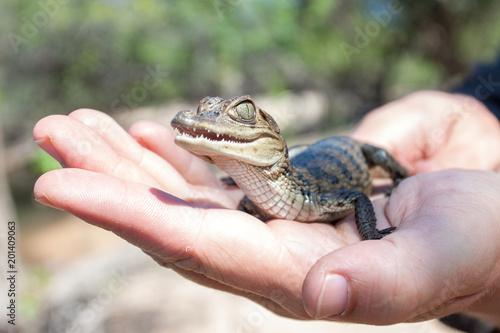 Recess Fitting Crocodile süßes Baby Krokodil oder Kaiman sitzt auf einer Handfläche