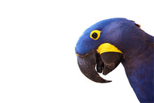 Head Of Hyacinth Macaw On White Background