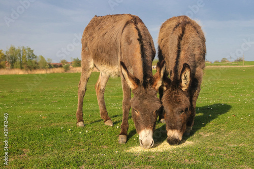 Two donkeys is grazing on the floral meadow