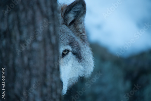 Peek A-boo with a Timber Wolf