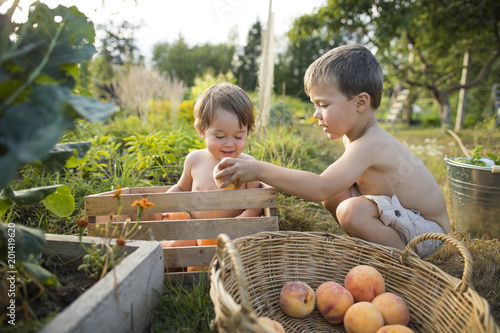 In de dag Tuin Two little shirtless boys playing in garden and collecting peaches, Langley, British Columbia, Canada