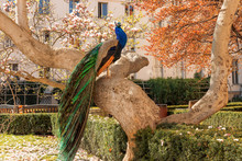 The Portrait Of The Peacock Sitting On The Massive Branch Of The Old Tree In The Beautiful Garden During Bright Suuny Spring Day.