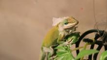 Staring Down A Lizard