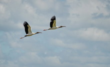 Wood Storks Flying In Costa Rica