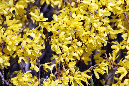 Abundant flowering of Forsythia intermedia Wallpaper Mural