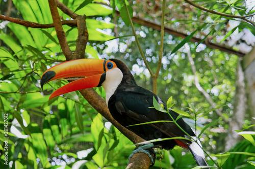 Fotoposter Toekan Toucan