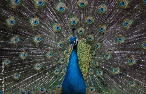 Foto op Aluminium Pauw A Strutting Peacock