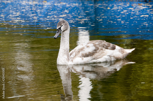 Staande foto Zwaan The swan on a pond