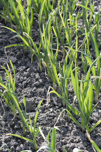 Fotografia  Green stems of planted garlic in the field.
