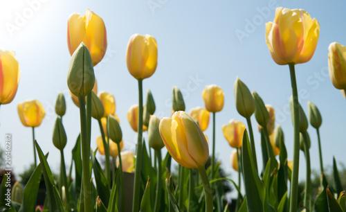 Plakat Pole tulipanów - pole tulipanów