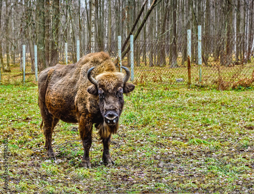 Photo  Bison, aurochs in the territory of the Prioksko-terraced reserve