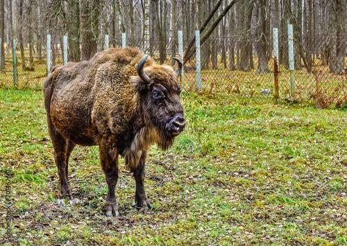 Fotografie, Obraz  Bison, aurochs in the territory of the Prioksko-terraced reserve