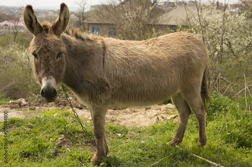 Deurstickers Ezel Donkey grazing on a chain near the house.