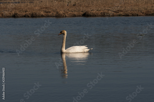 Staande foto Zwaan swan swimming on the river
