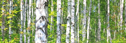 Tuinposter Berkbosje White birches in summer in good weather in birch grove