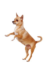 Chihuahua Dog Standing On Hind...
