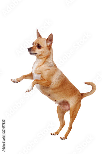 Chihuahua dog standing on hind legs isolated on white Wallpaper Mural