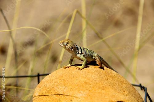 Poster Chamaleon Pustynna jaszczurka wygrzewająca się na kamieniu