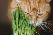 Red Cat Eats Germinated Oats. Selective Focus On Grass.