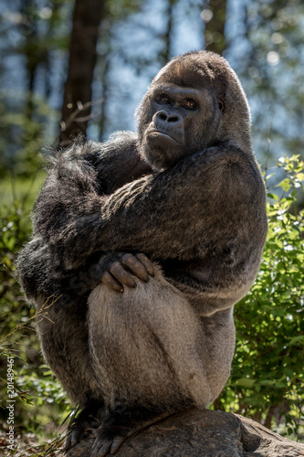 Photo Gorilla Sits on Rock and Stares