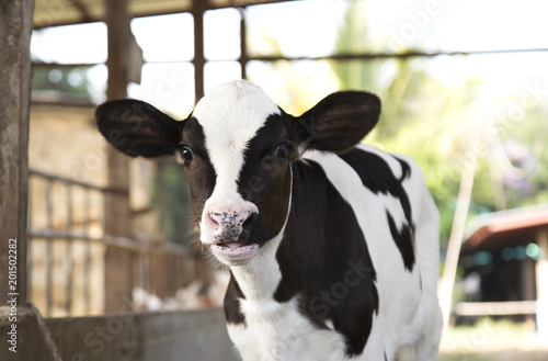 Tuinposter Koe young black and white calf at dairy farm. Newborn baby cow